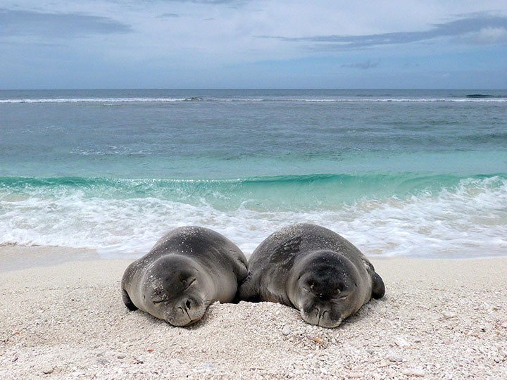 Two weaned seal pups sleeping on the beach