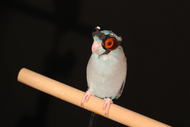 This bird is wearing teeny tiny goggles for science