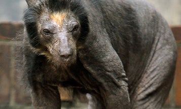 German Zoo's Bears Struck With Mystery Baldness