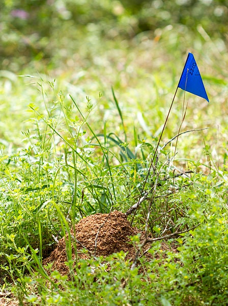 A fire ant mound.