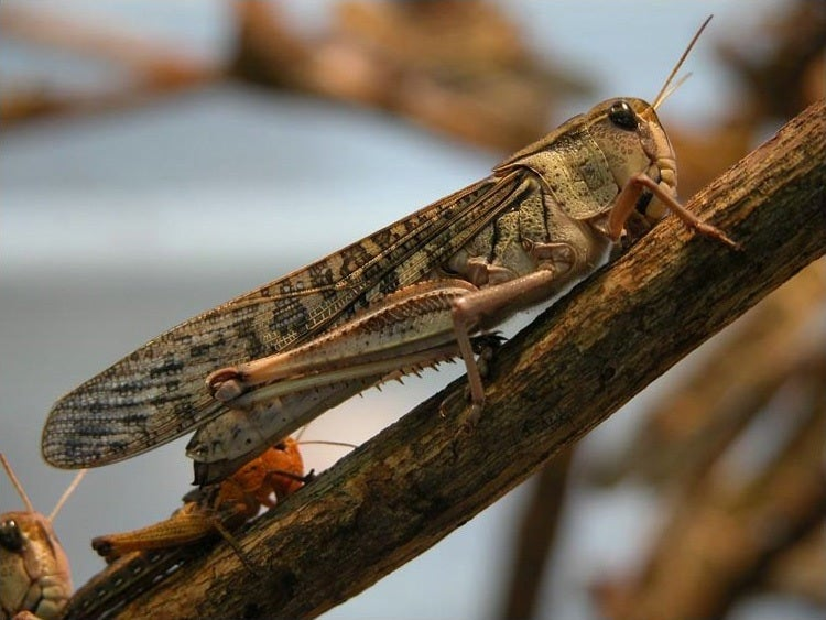 An Infection Turns Swarming Locusts Into Solitary Grasshoppers, Study Finds