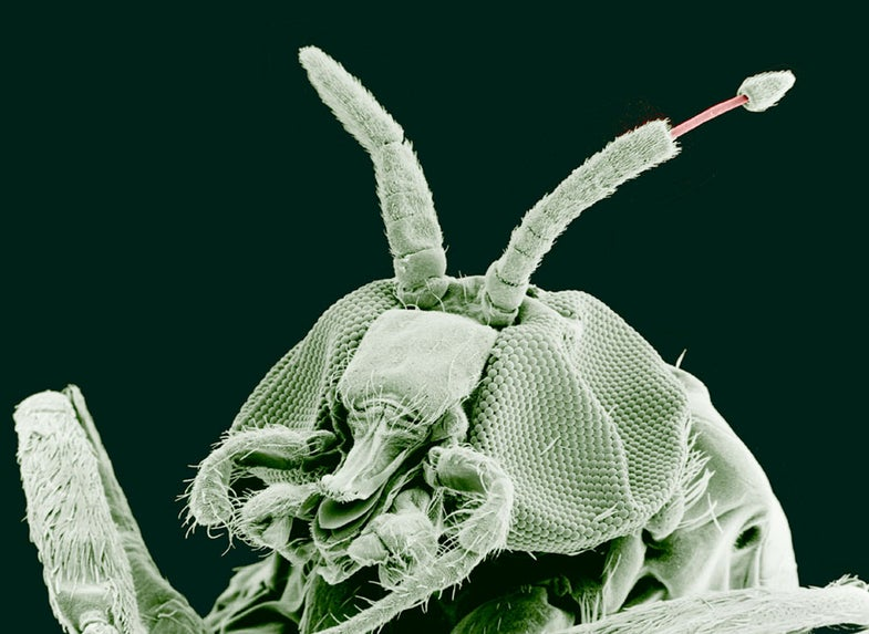 Adult Black Fly (Simulium yahense) with (Onchocerca volvulus) emerging from the insect's antenna.