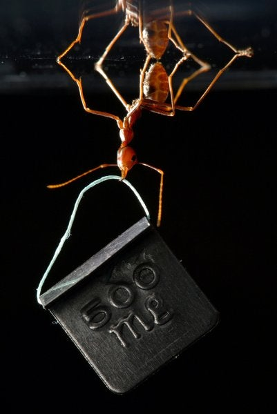 Weight Lifting Ant Hefts 100 Times Its Body Weight, Photo Contest Gold