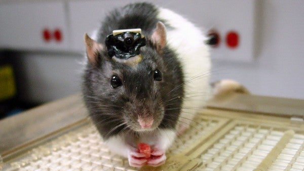 Brain Implants Let Rats See In Infrared