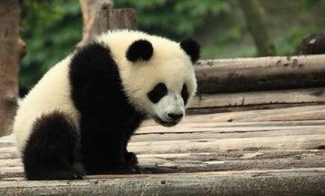 Good News: Giant Pandas No Longer Endangered