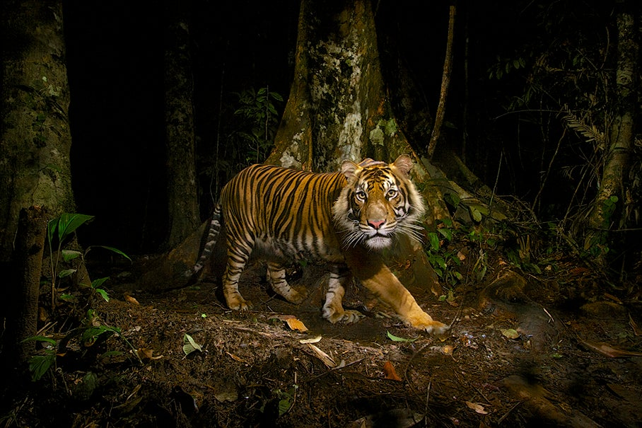 Documenting The Lives Of Tigers
