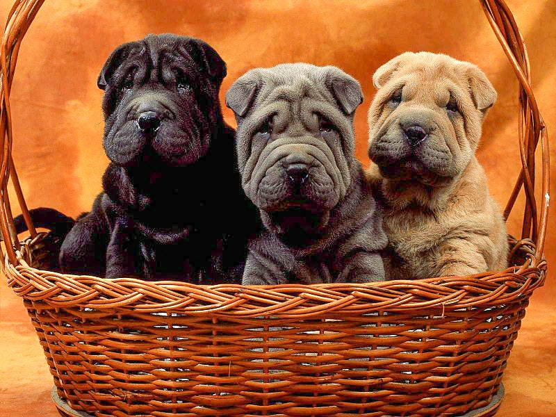 Your Dog Might Have Some Of Its Older Sibling's Cells