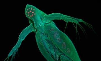 Water Flea Genome is the Most Complex Yet, and May Help Scientists Study Organisms' Response to Stress