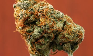 New Analysis Says Cannabis Breeders Should Grow for Safety As Well As Potency