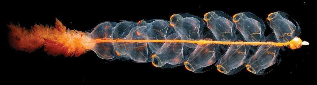 magnificent siphonophore