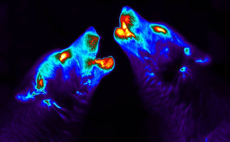 Howling Heat Wolves, Sex Weevils, And Other Amazing Images Of The Week