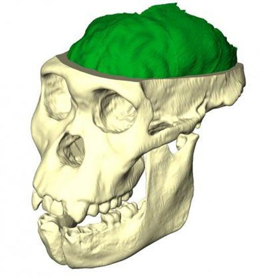 Australopithecine Stakes a Claim as Humanity's Earliest Ancestor