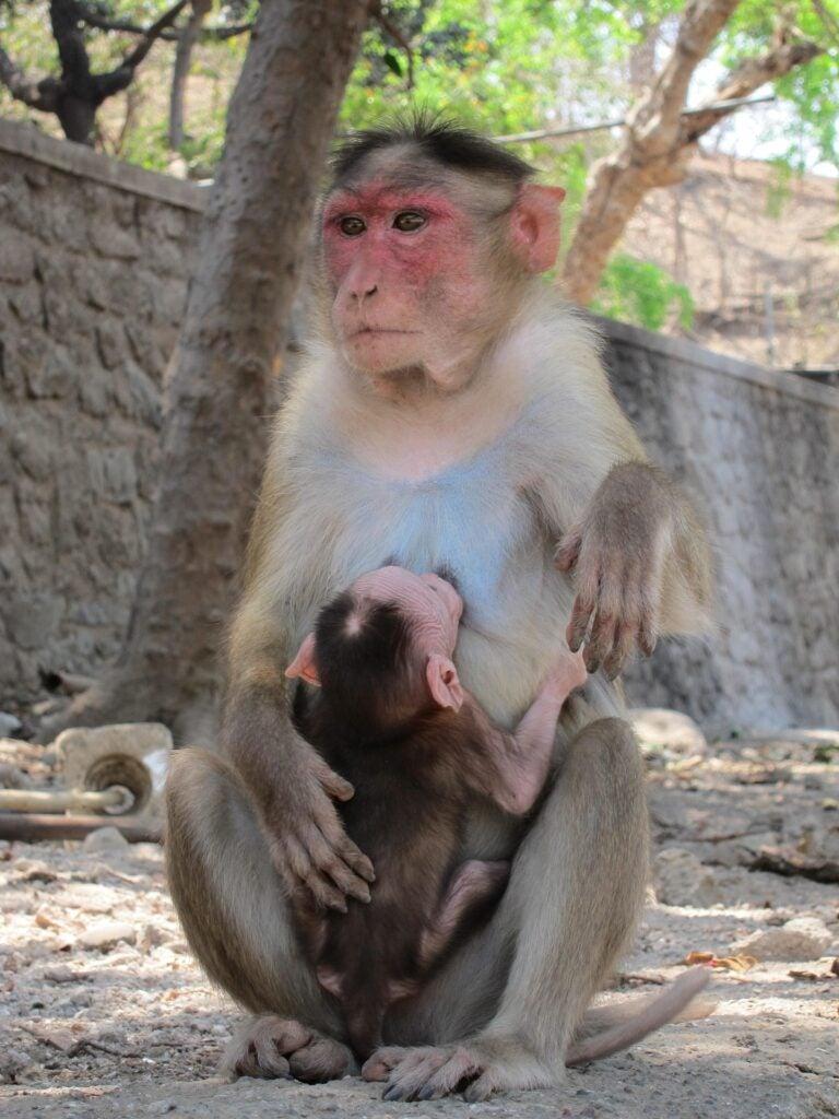 Rhesus monkey with baby