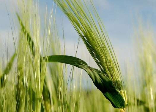 BeerSci: Uncovering The Secrets Of Barley
