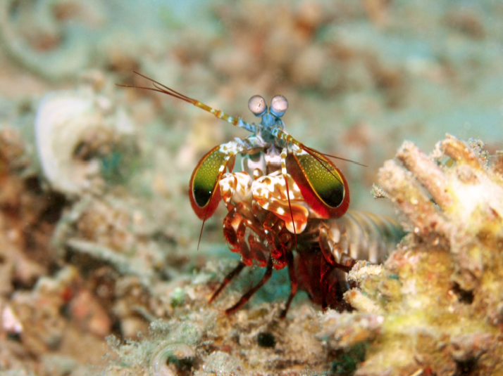 Ultra-Tough Mantis Shrimp Claws Could Lead to Better Body Armor