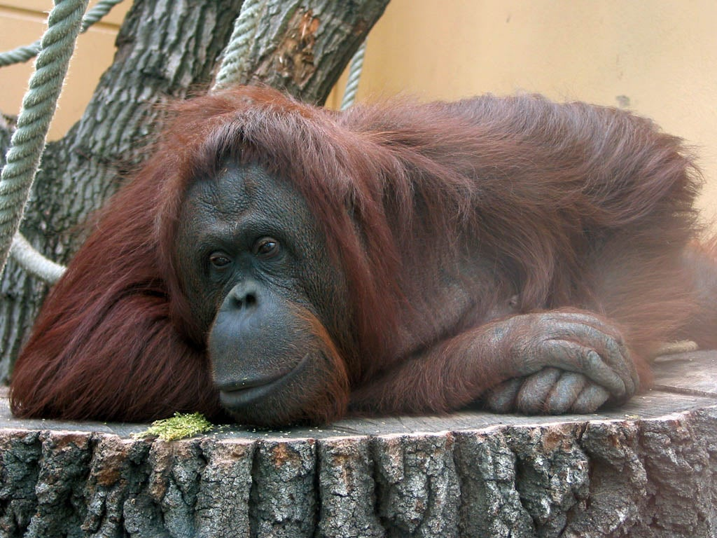 Great Apes Might Experience Mid-Life Crises Just Like Humans