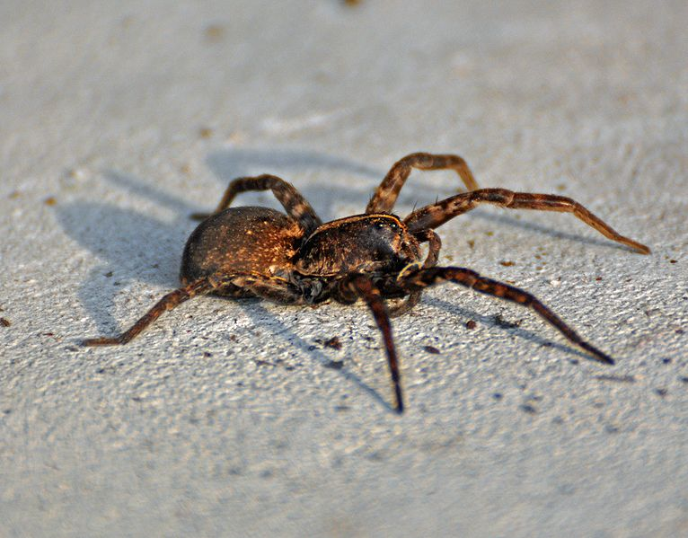Male Wolf Spiders Swipe Other Males' Dance Moves