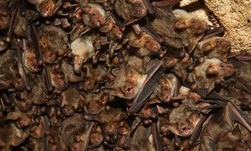 Bats' echolocation has one major blind spot