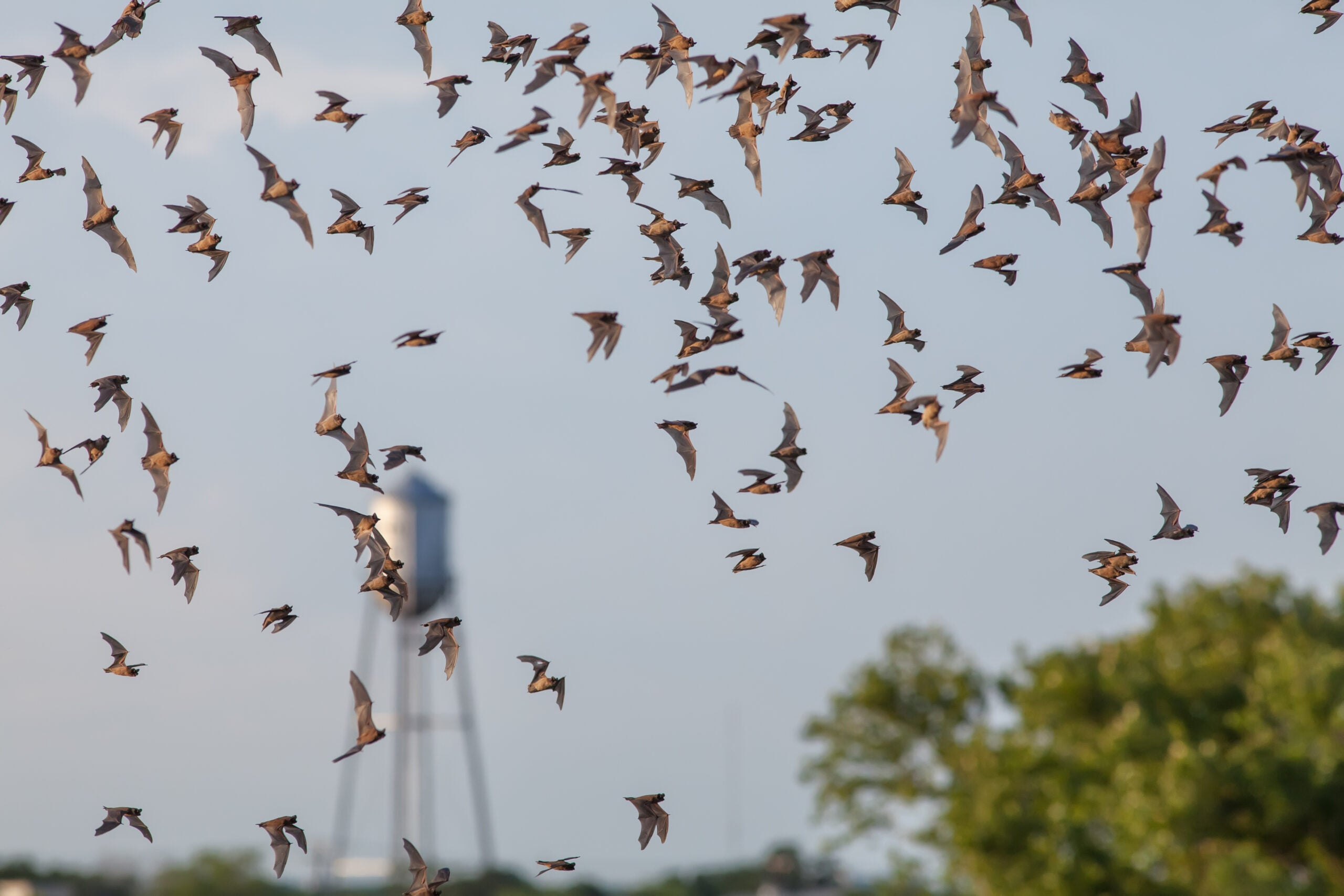 Bats Are Worth $1 Billion To Corn Industry