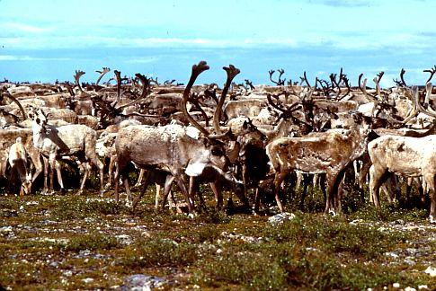 Life Gets a Little Easier for Reindeer, Tsunami-Hit Lands