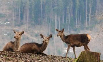 Female elk are practically bulletproof by age 9
