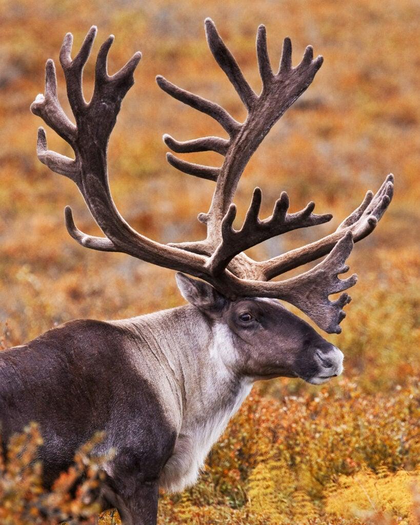 Denali's Caribou