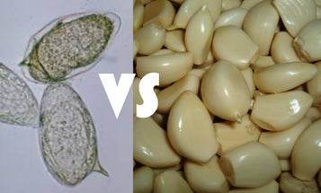 Garlic May Help Millions Suffering From Schistosomiasis