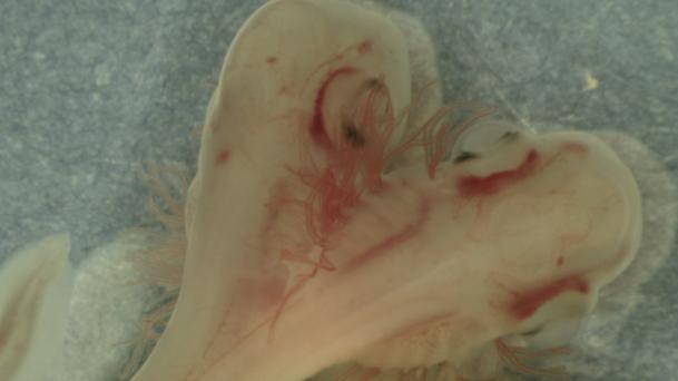 two headed shark embryo