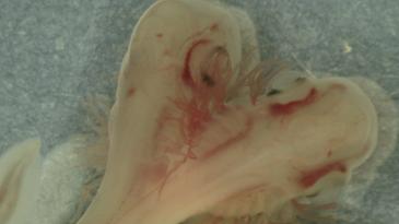 A double shark embryo