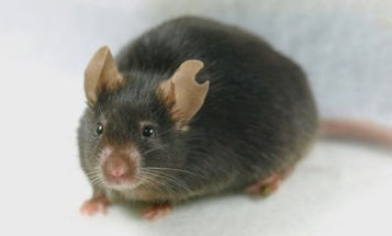 Mouse Cloned From A Mere Drop Of Blood