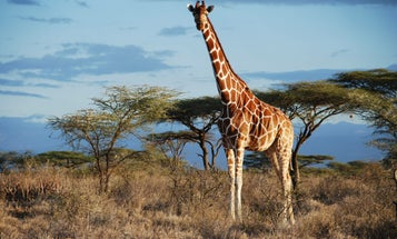 There May Be Four Species Of Giraffe, Not Just One