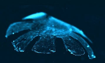 Video: Jellyfish Made From Silicone and Rat's Heart Cells Swims and Beats Like a Heart