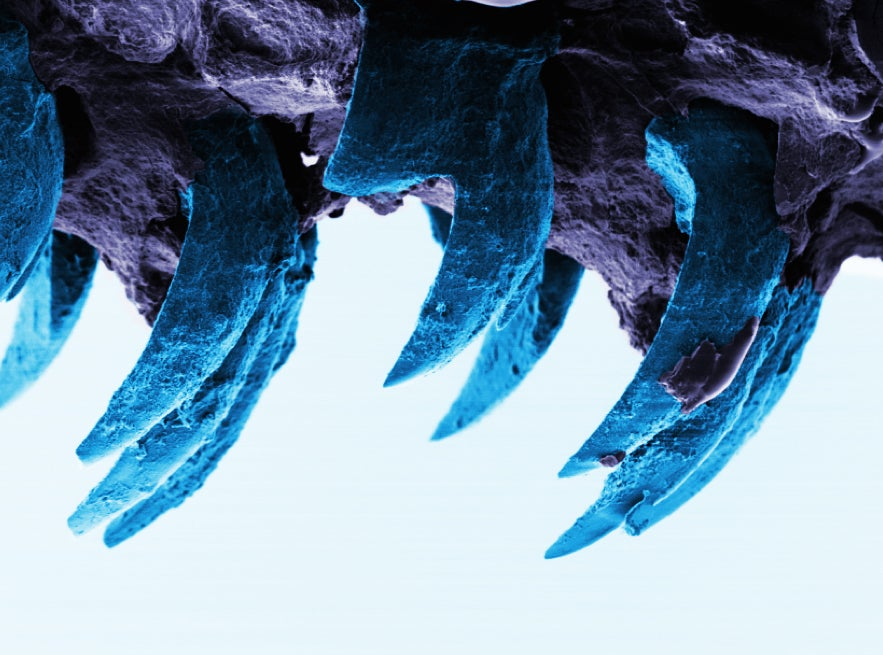 Sea Snail's Teeth Just Dethroned Spider Silk As The Strongest Biological Material