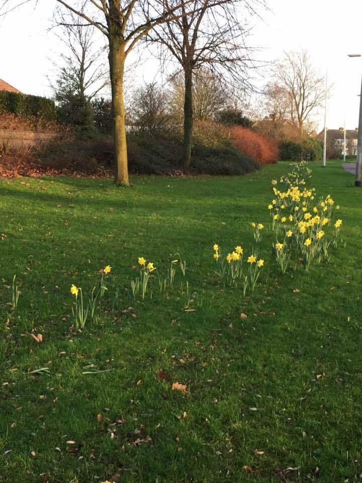 Daffodils on December 23 in Vlijmen, The Netherlands