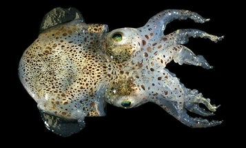 The First Squid in Space: Will Its Bacteria Turn On Its Host Once Away From Earth?