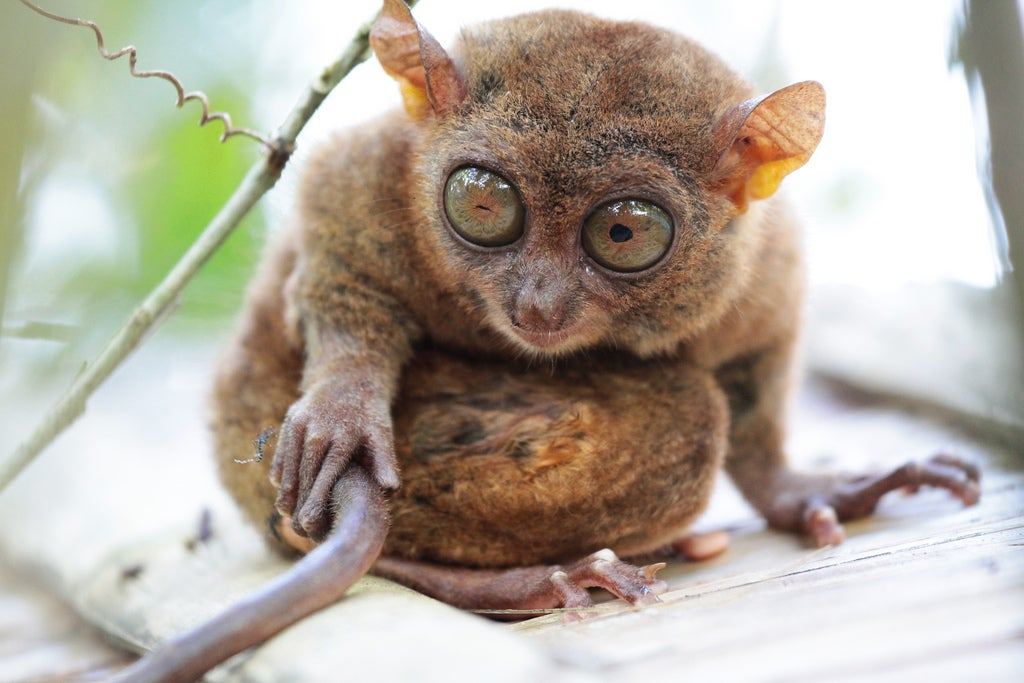 """""""tarsier"""""""