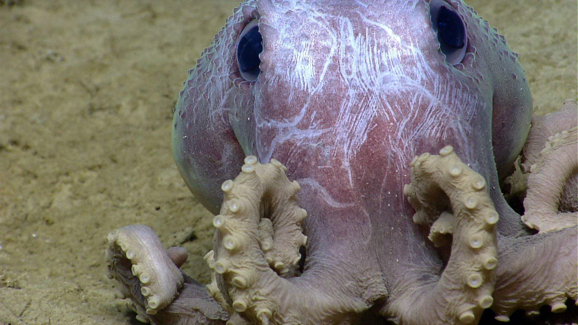 You can tell these adorable octopuses apart by their warts