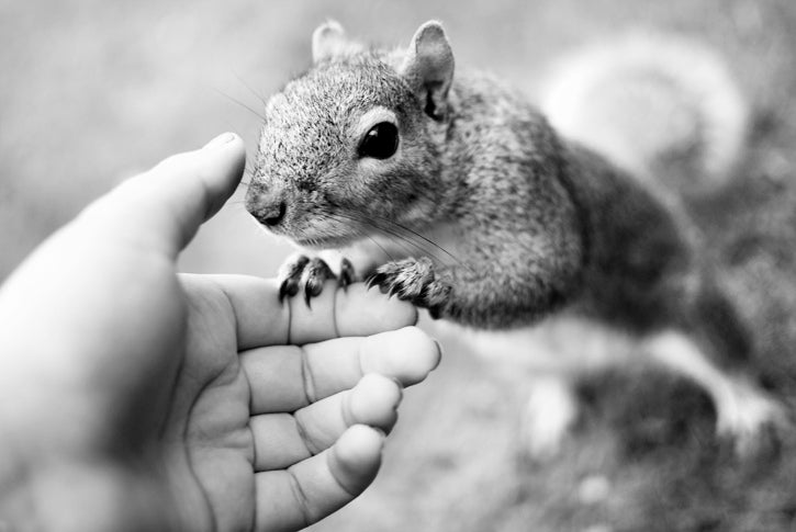 Of Squirrels and Men: How We Moved Squirrels Into Our Cities