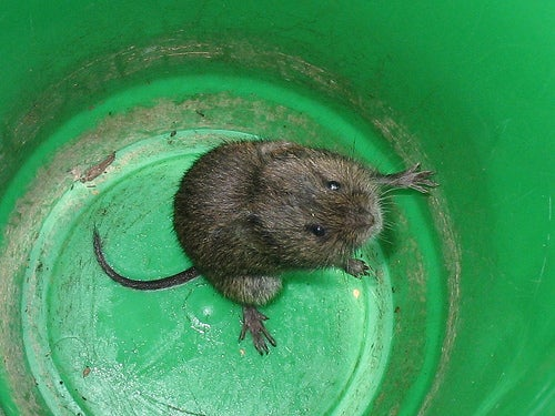 Breaking Up is Hard to Do (Especially When You're a Vole)