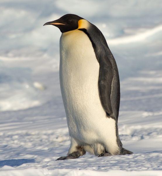 Diminishing Days for Emperor Penguins