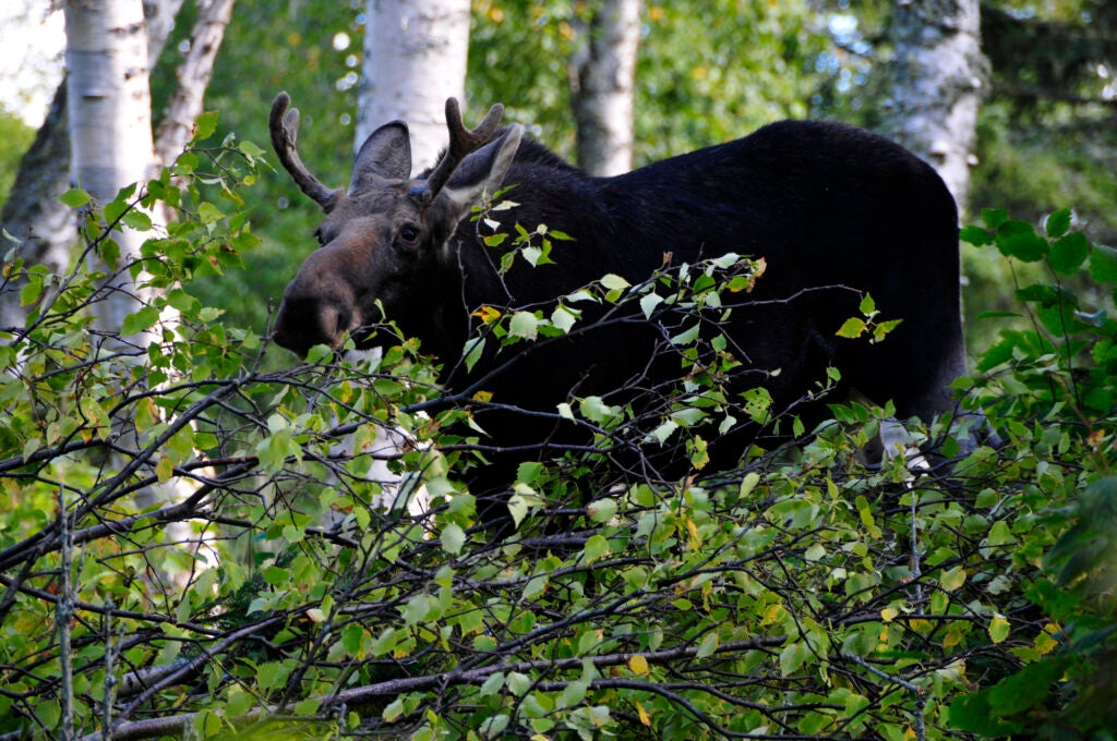 Bull moose with budding antlers behind bushes