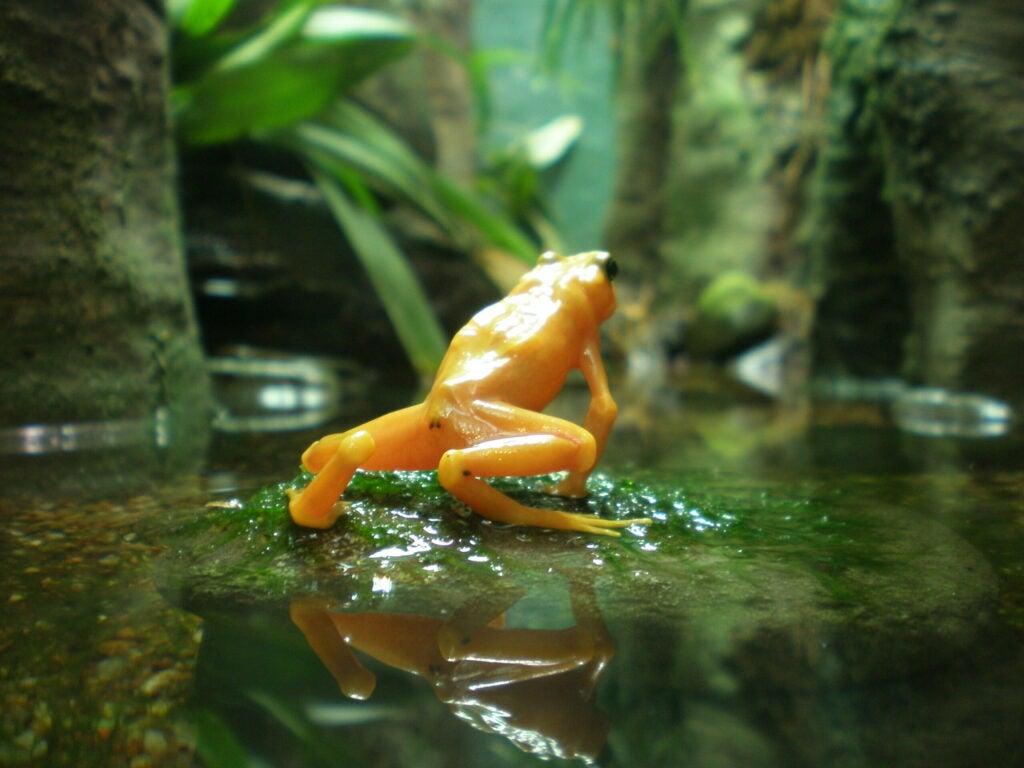 golden poison arrow frog