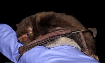 Going Batty For Science
