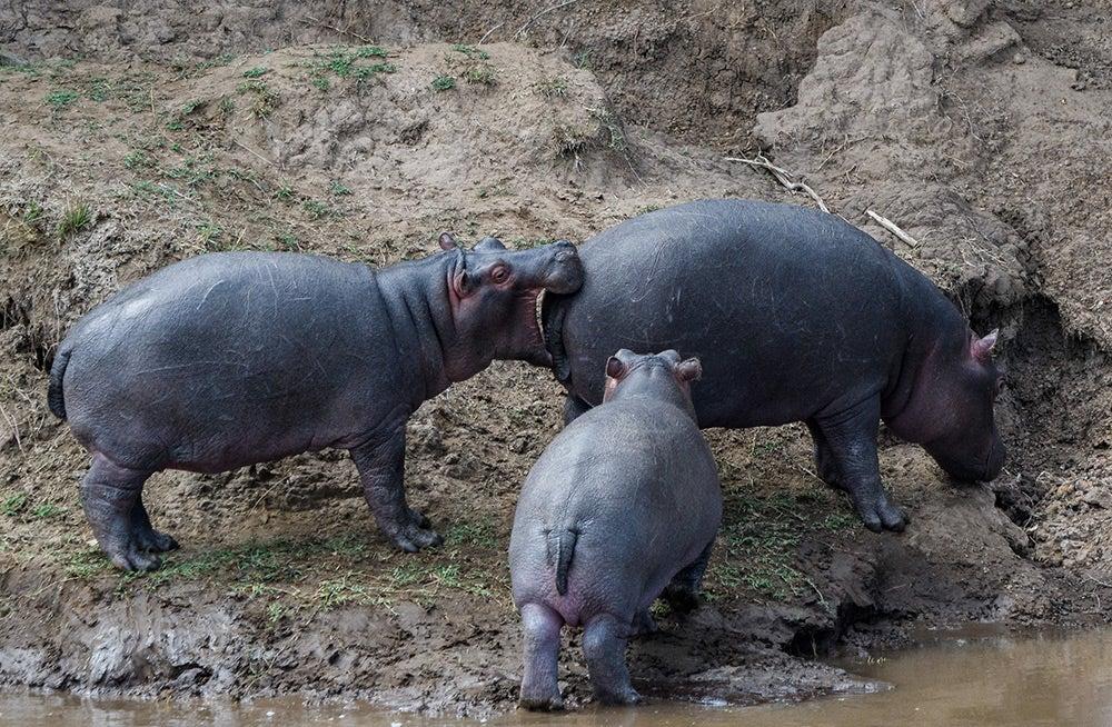 Rhino biting rhino butt