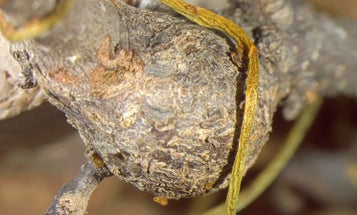 Wasps, oak trees, and a creepy vine are involved in a parasitic Florida love triangle