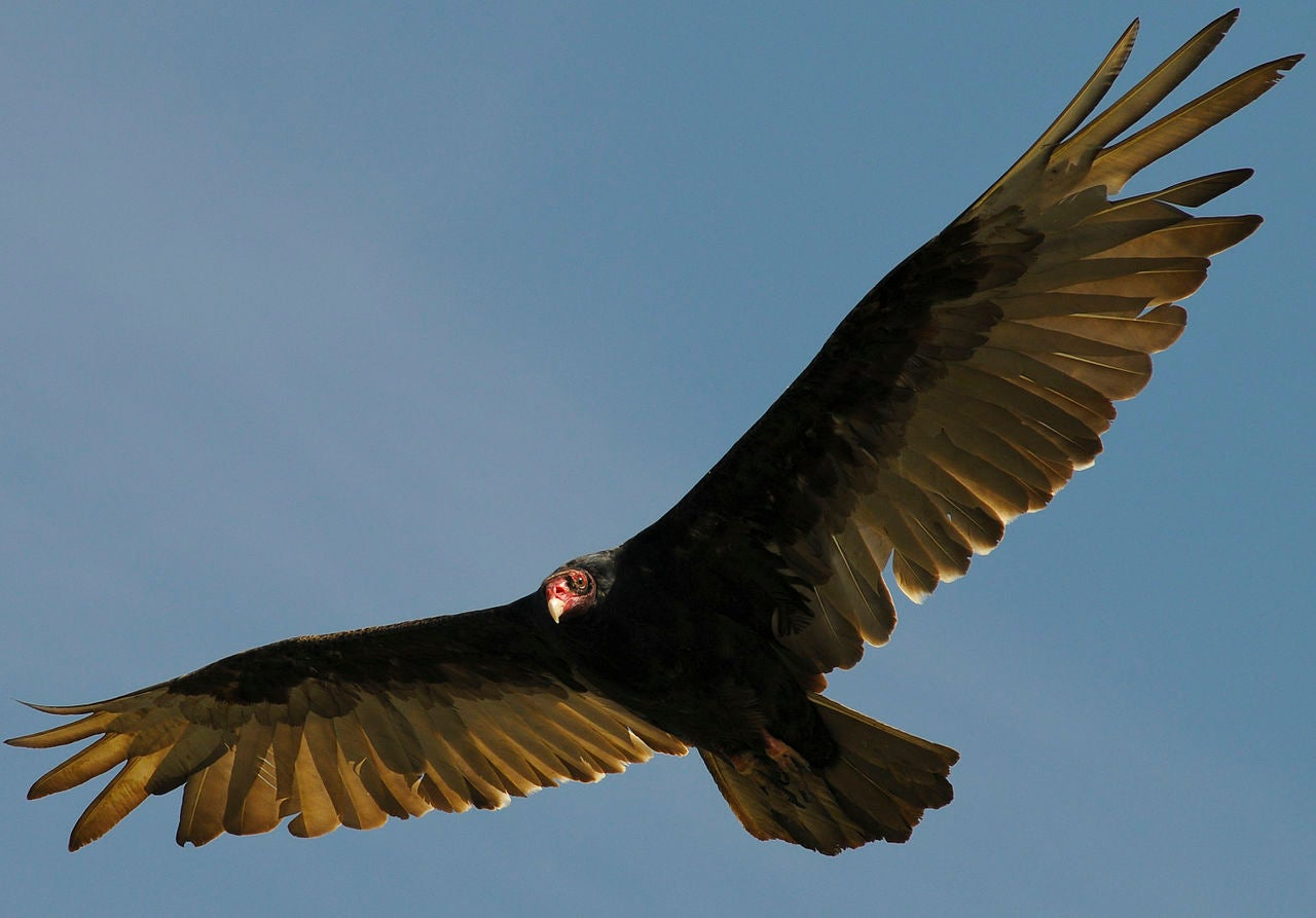 Gas Leaks Are Designed To Attract Turkey Vultures
