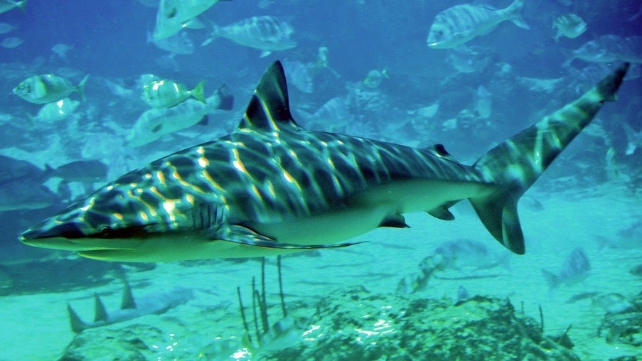Museum Relics Prove Pacific Sharks Died Out Before We Knew They Were There