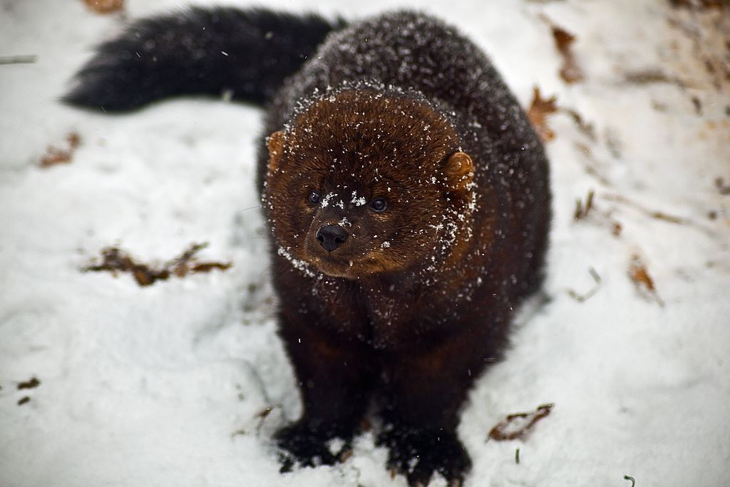 Weasel-Like Predators Are Reclaiming Territory In The U.S., And Growing Larger