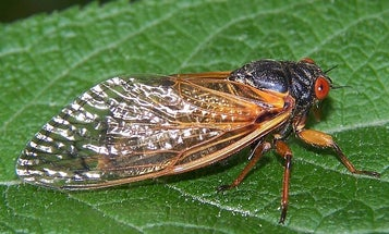 """Radiolab Wants Your Help To Track The Once-Every-17-Year Cicada """"Swarmageddon"""""""