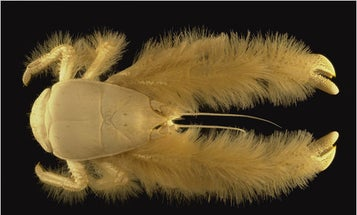 First Complete Census of Marine Life Catalogs Yeti Crab, Darth Vader Jelly, and 6,000 More